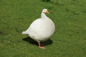 fat goose